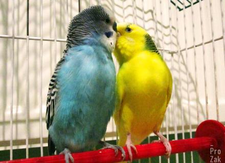 Чим правильно годувати хвилястих папуг?