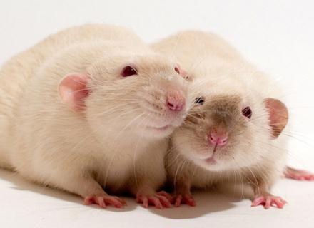 Породисті щурі: найпопулярніші породи, які живуть вдома