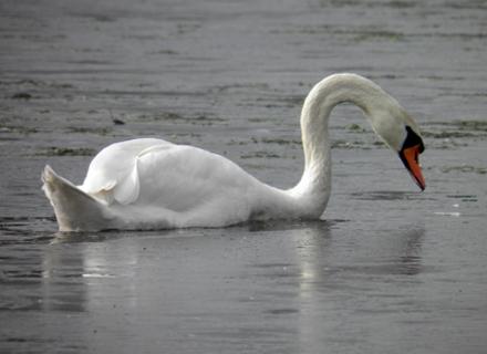 Водолази на Закарпатті врятували лебедів