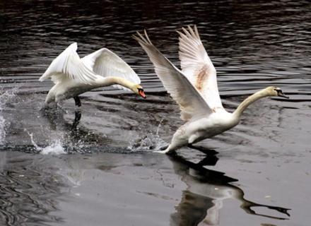 До ужгородської водойми прилетіли лебеді