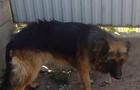 У Мукачеві цигани викрадають породистих собак