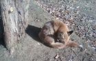 Захисники тварин просять врятувати лисицю з Боздоськоо парку в Ужгороді