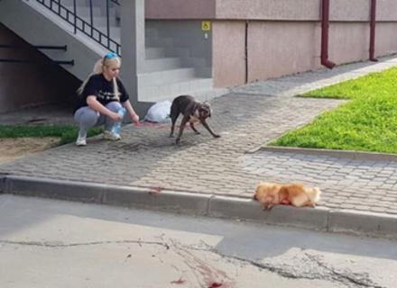 В Ужгороді бійцівський собака вбив маленького шпіца на очах у власників