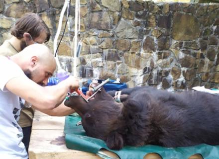 У НПП «Синевир» ведмедям полікували зуби