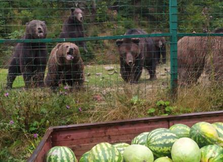 На Закарпатті ведмедів годують кавунами (ВІДЕО)