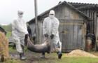 Африканську чуму виявили у мертвої дикої свині на Закарпатті