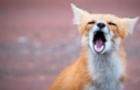 Через скажену лисицю на Берегівщині оголосили карантин