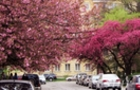На Закарпатті сакури зацвітуть 10-14 квітня