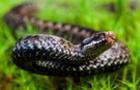 Закарпаття має достатньо сироватки від укусів змій