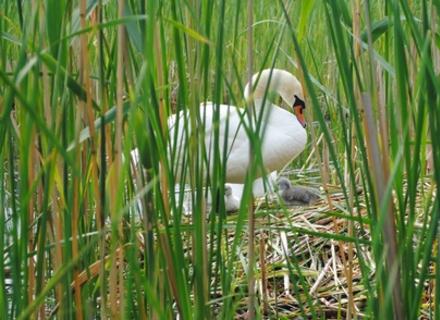 В Ужгороді у родині лебедів поповнення (ВІДЕО)