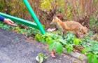 У Боздоському парку живе дика лисиця, яка їсть з рук людей (ФОТО, ВІДЕО)