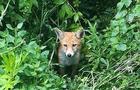 В Ужгороді спокійно гуляють лисиці (ФОТО, ВІДЕО)