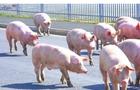 На Закарпатті з вантажівки випали живі свині і перекрили міжнародну трасу (ВІДЕО)