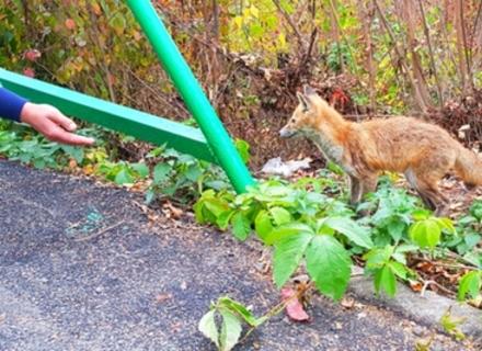 Лисиця, яку годують з рук в парку Ужгорода, може бути скаженою