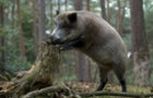 На Закарпатті знову знайшли хворих на чуму свиней