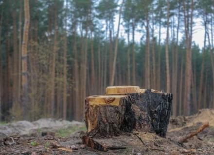 Прокуратура Закарпаття закінчила слідство стосовно факту вирубки лісником 84 дерев у природному парку (ВІДЕО)