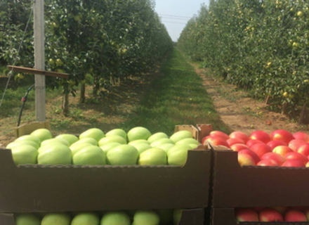 Чи смакують закарпатські яблука європейцям?