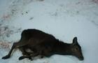 У загиблої на Рахівщині самиці оленя були переламані кінцівки