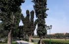 В Ужгороді знищили алею каштанів і тепер хочуть висадити інші дерева (ВІДЕО)
