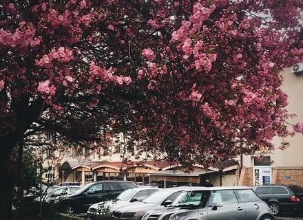 ТОП-3 сакурових дерев Ужгорода