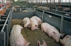На Мукачівщині невідомі побили охоронця свиноферми і викрали 10 свиней