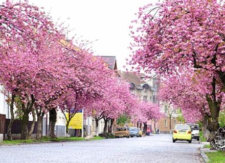 Професор Шандор пояснив, чому столицею сакур в Закарпатті стало Мукачево (ВІДЕО)