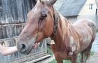 Жорстокість: П'яний закарпатець прив'язав до автомобіля коня і тягав його по асфальту (ФОТО 18+)