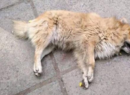 У Мукачеві невідомі труять собак