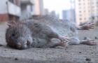 В Ужгороді почали труїти гризунів