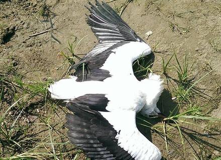 На Ужгородщині знайшли мертвого лелеку