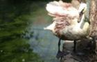 Помер лебідь, якому прооперували крило