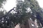 В Ужгороді дерево впало на багатоквартирний будинок (ФОТО)