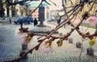 Не боїться морозів: У Мукачеві знову розцвіла шалена сакура
