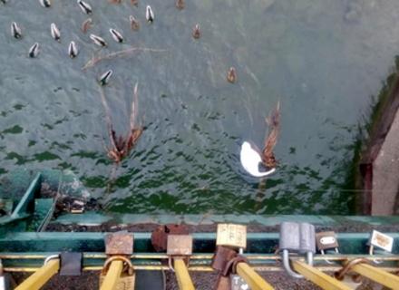 Під пішохідним мостом в Ужгороді знайшли мертвого лебедя