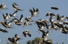 Сотні лелек зібралися в одному місці біля річки на Міжгірщині (ВІДЕО)