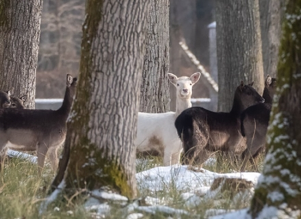 На Мукачівщині в стаді благородних оленів зафіксували оленицю-альбіноса