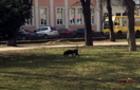 Бійцівський собака, якого нещодавно порізали на проспекті, сама гуляє містом