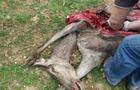 Поліція шукає браконьєрів, які застрелили вагітну оленицю