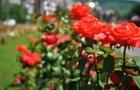 В Ужгороді відновлять розарій вздовж набережної