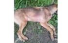 В Ясіня невідомий убив собаку з вогнепальної зброї