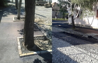 Мер Берегова відзвітував про виправлення ситуації з  заасфальтованими деревами