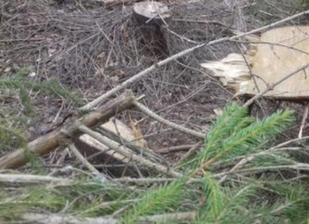 На Закарпатті прикордонники виявили незаконну вирубку лісу поблизу  з держкордоном з Польщею