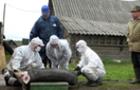 По всьому Закарпаттю починається відстріл диких свиней, щоб зупинити чуму