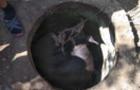 У Берегові корову витягали з каналізаційного колодязя
