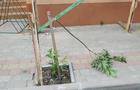 У Хусті вандали знову знищили молоді деревцята (ФОТО)