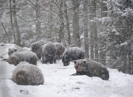 """У природньому парку """"Синевир"""" ведмеді досі не сплять"""