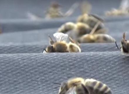 На Берегівщині зафіксована масова загибель бджіл (ВІДЕО)