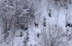 Лісівники Брустурянського лісгоспу показали, як козулі добувають їжу взимку (ВІДЕО)