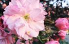 В Ужгороді висаджують сакури та впорядковують квітники