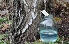 На Закарпатті вже почали добувати березовий сік: Як не зашкодити деревам